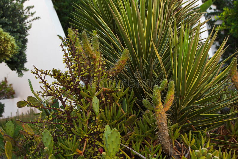 Kaktus i rabattgarneringplatsen arkivfoto