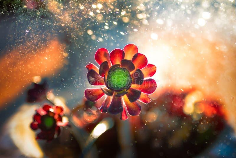 Kaktus i regnet arkivfoto