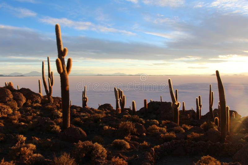 Kaktus i salt öken arkivbild