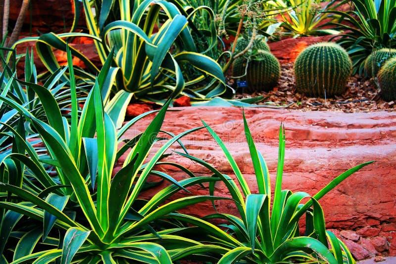 Kaktus i växthus royaltyfri fotografi