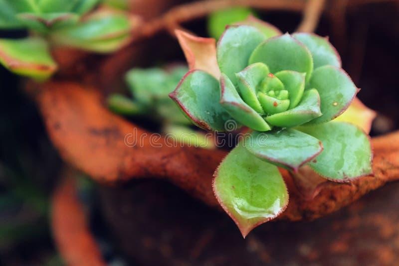 Kaktus i vase arkivfoto