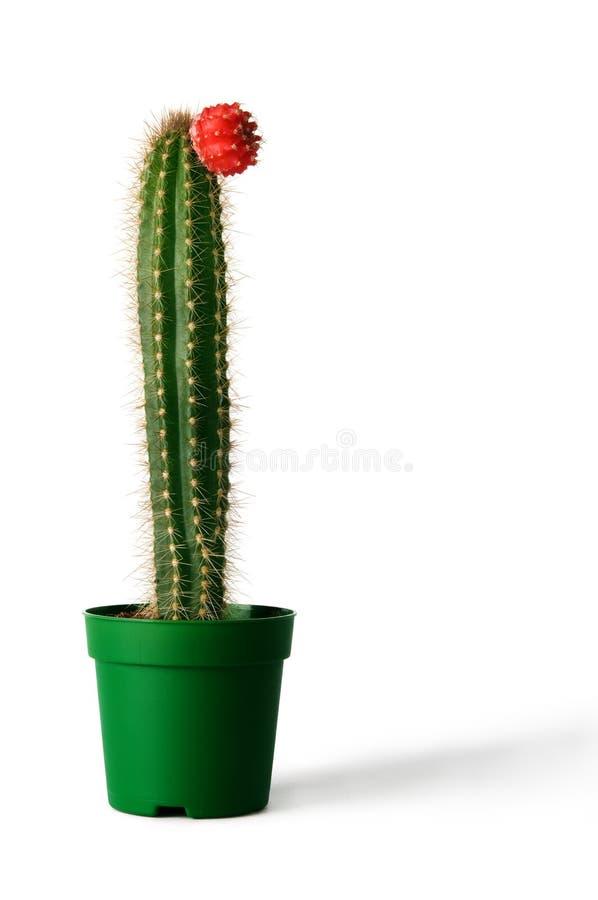 Kaktus im Flowerpot über weißem Hintergrund stockfoto