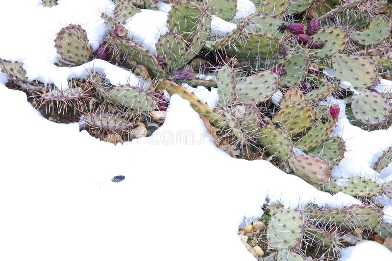 Kaktus im Schnee lizenzfreies stockbild