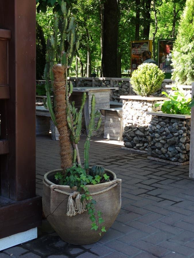 Kaktus im Topf lizenzfreies stockbild