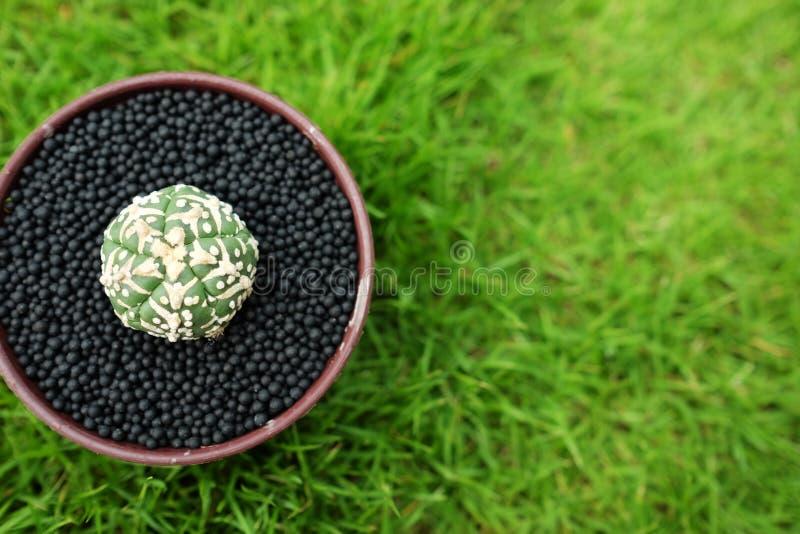 Kaktus im Topf auf grünem Gartenboden stockbilder
