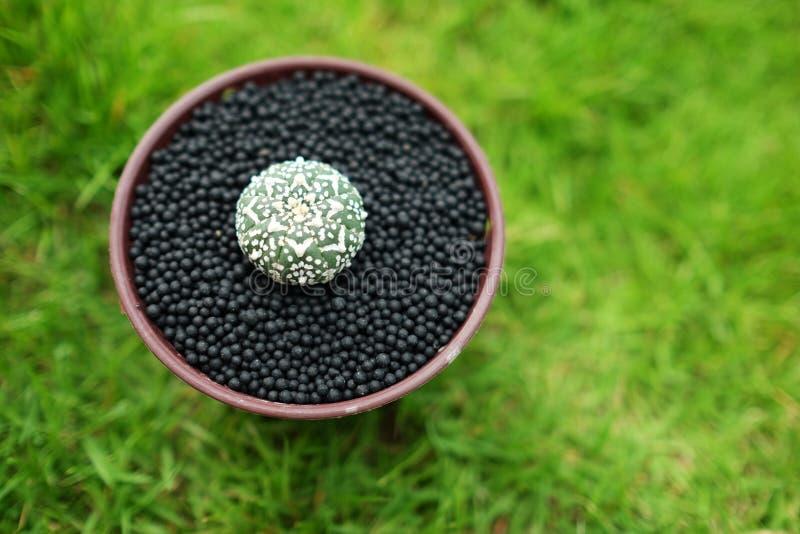 Kaktus im Topf auf grünem Gartenboden lizenzfreies stockfoto