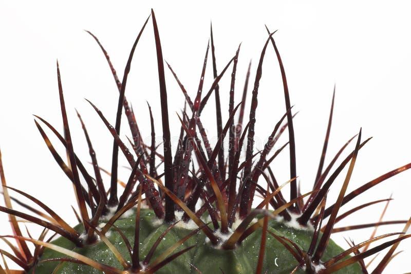 kaktus kolcami na szczyt zdjęcie royalty free