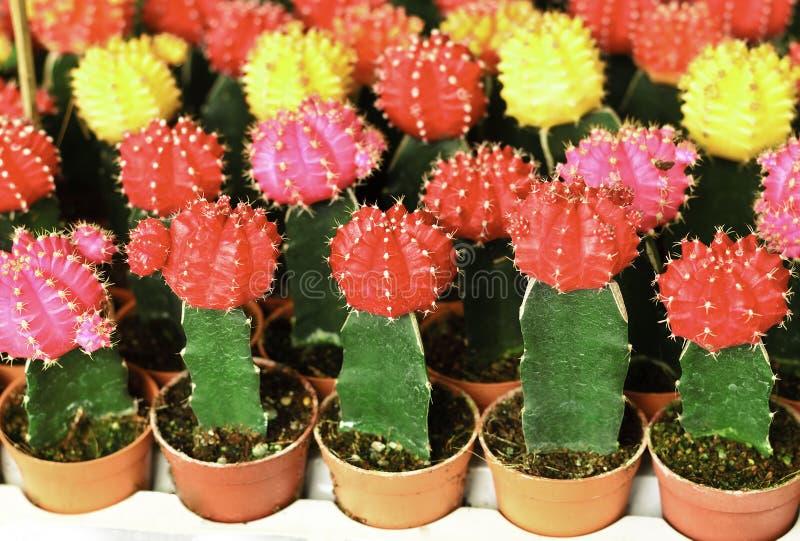 kaktus kolorowy zdjęcia stock