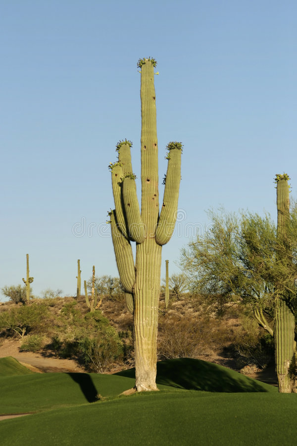 kaktus kursu golfa zdjęcia royalty free