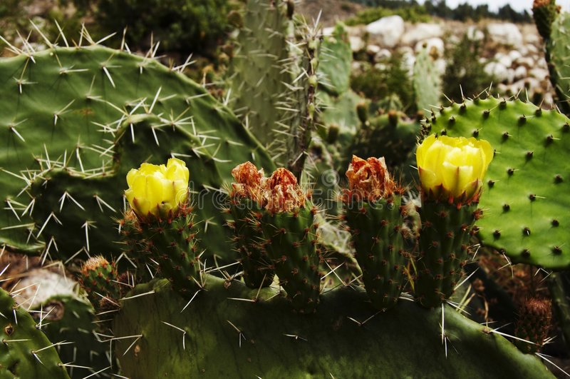 kaktus kwiat żółty zdjęcie stock
