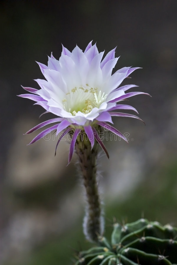kaktus kwiat fotografia stock