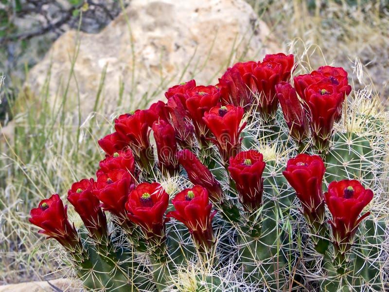 kaktus kwitnie czerwień fotografia stock