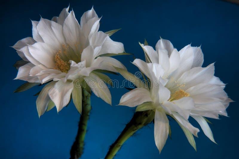 Kaktus kwitnie zbliżenia błękita tło zdjęcie royalty free
