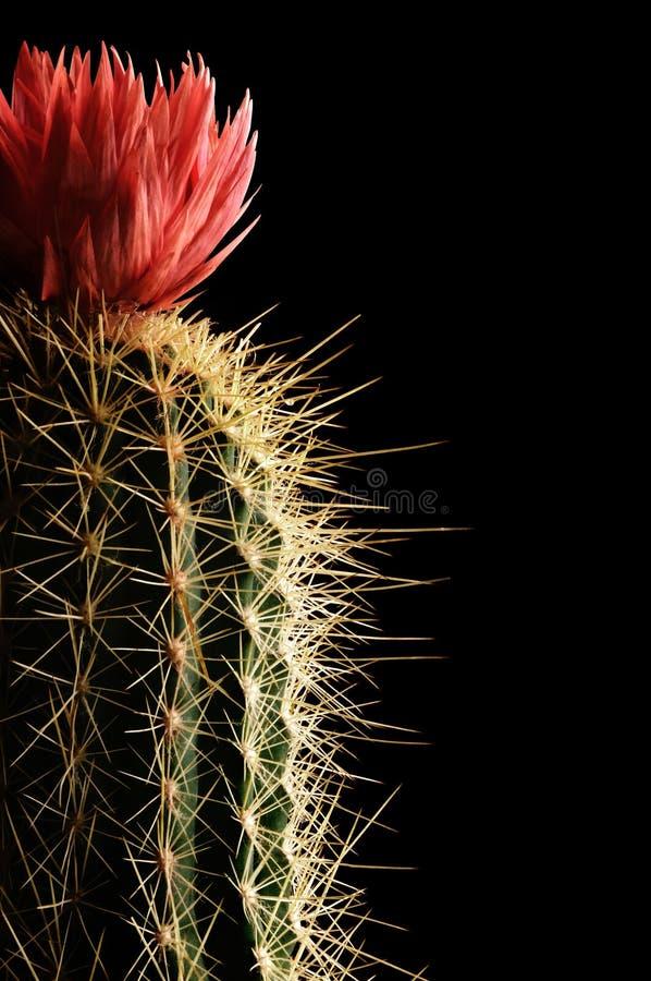 kaktus kwitnienia fotografia royalty free