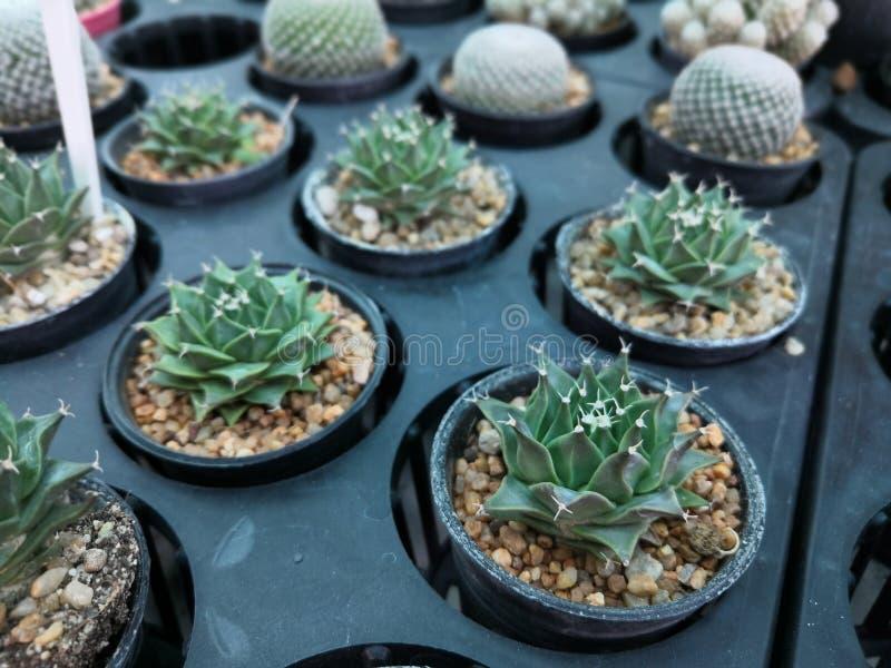 Kaktus många sorter arkivfoto