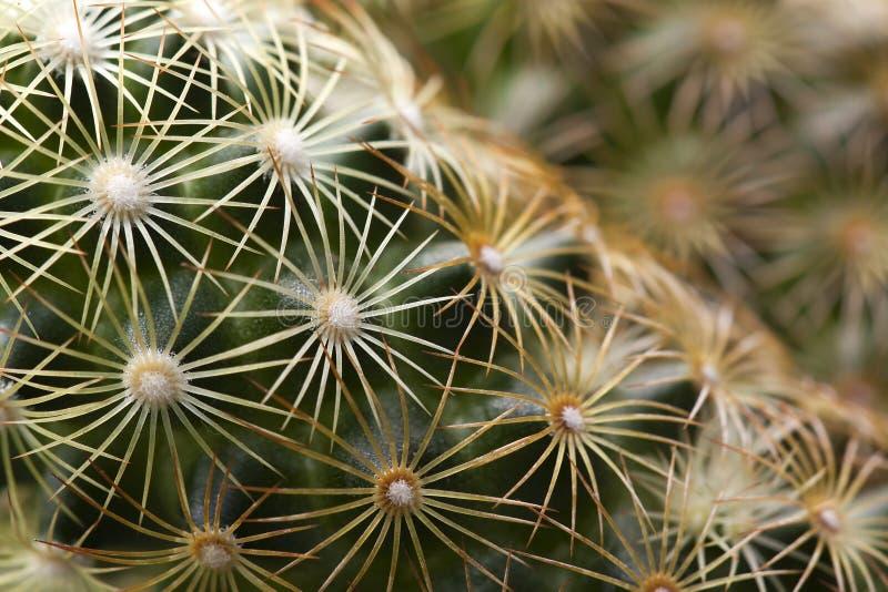 Kaktus makro- fotografia stock