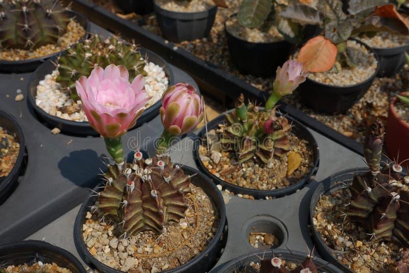 Kaktus med blommakaktuns arkivbild
