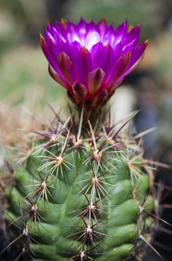 Kaktus med den stora purpurf?rgade blomman royaltyfri bild