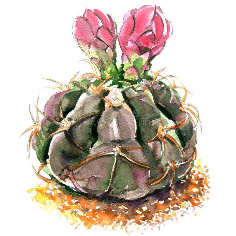 Kaktus med isolerade rosa färgblommor, vattenfärgillustration på vit stock illustrationer