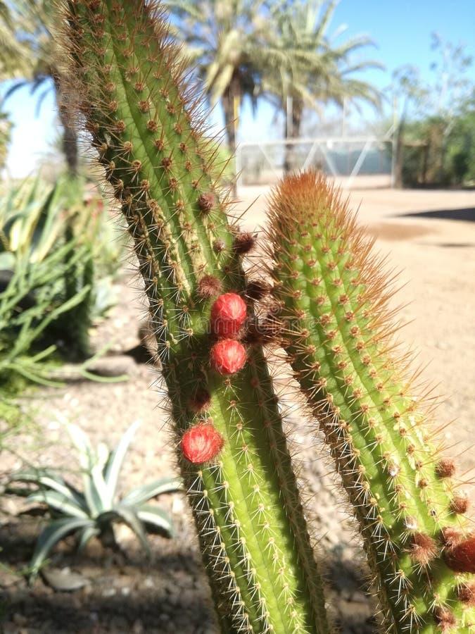 Kaktus med liten frukt royaltyfria foton