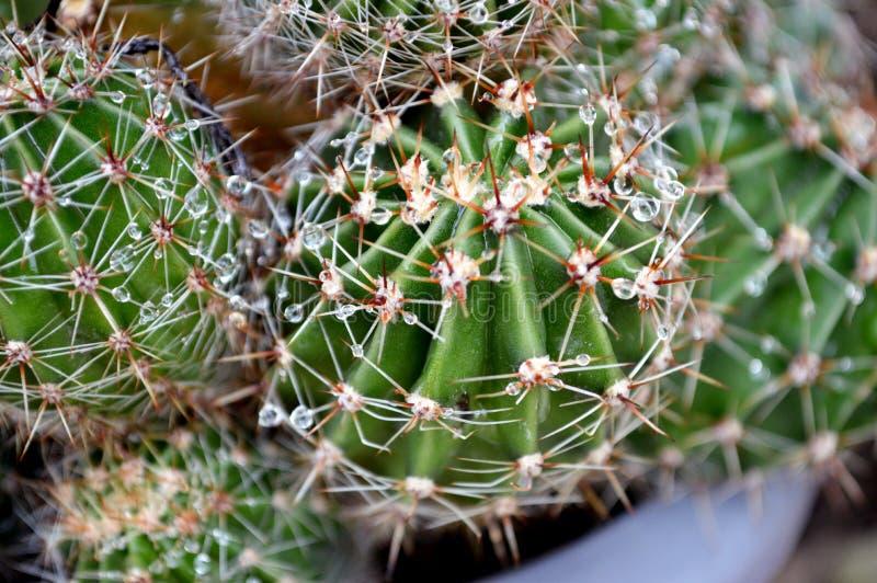 Kaktus med regnsmå droppar i en kruka royaltyfria bilder