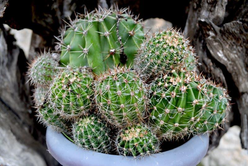 Kaktus med regnsm? droppar i en kruka royaltyfri bild