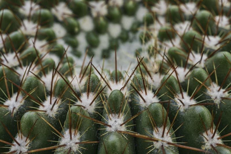 Kaktus med ryggar royaltyfri fotografi
