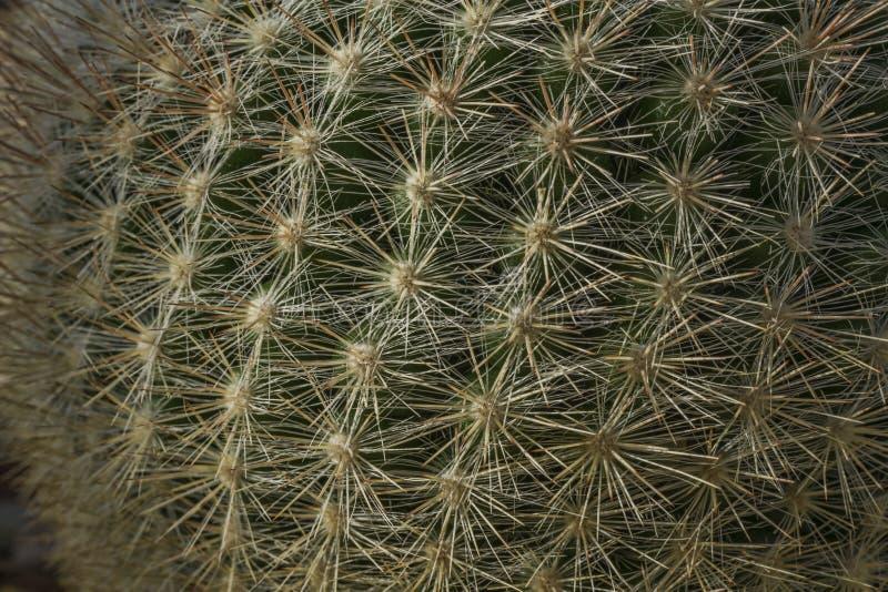 Kaktus med ryggar arkivbilder
