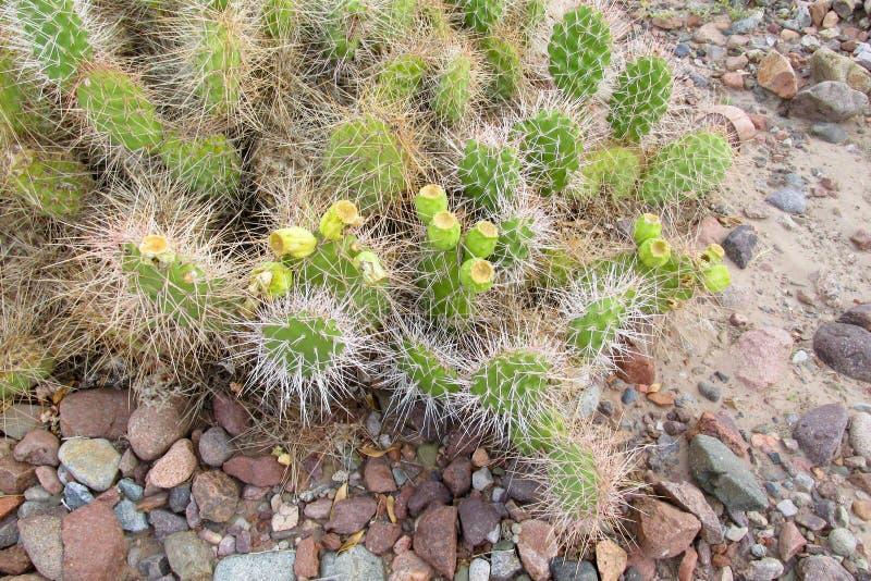 Kaktus med visare på stenar arkivfoto