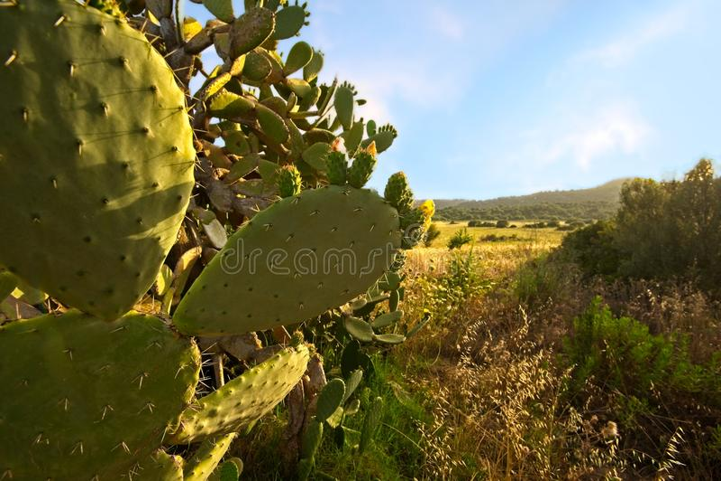 Kaktus mit Fruchtbraun stockbild