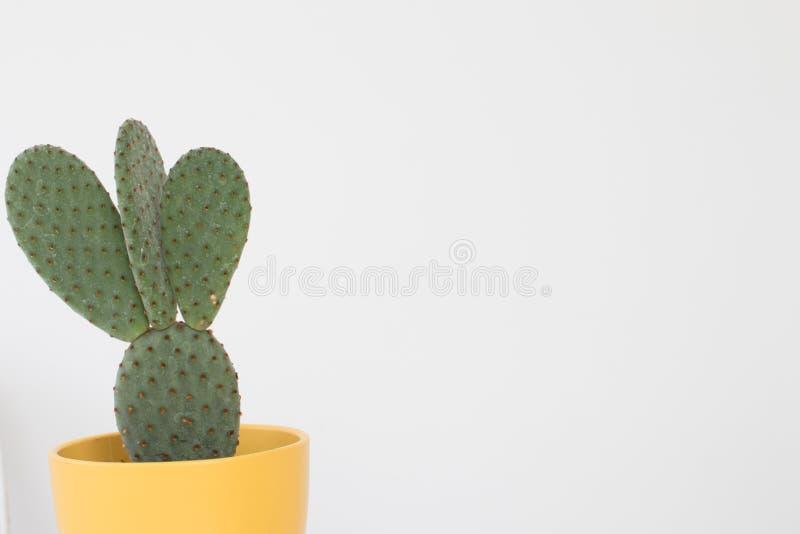 Kaktus mit Schaufelblättern und -dornen in einem gelben Kasten auf einem Weiß stockbilder