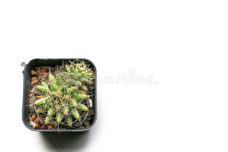 Kaktus na bia?ym tle fotografia stock