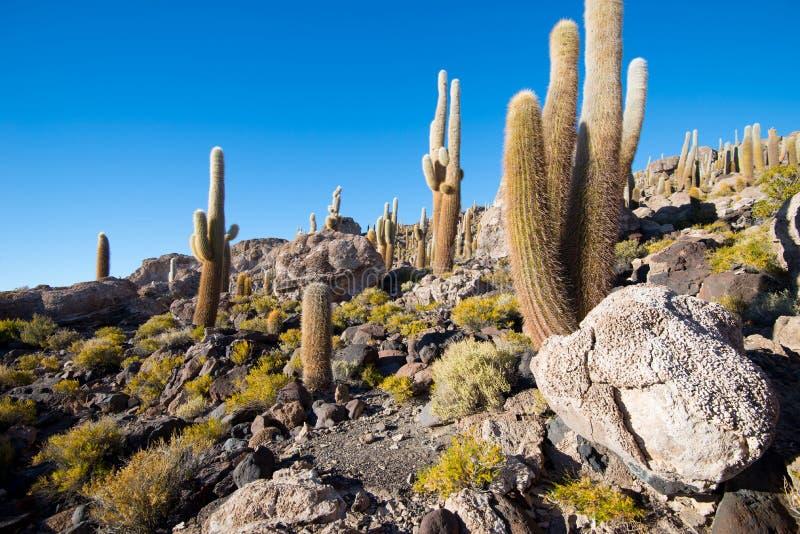 Kaktus na Incahuasi wyspie, solankowy płaski Salar De Uyuni, Altiplano zdjęcie stock