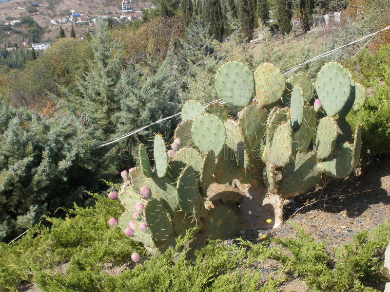 Kaktus na skłonie góra fotografia royalty free