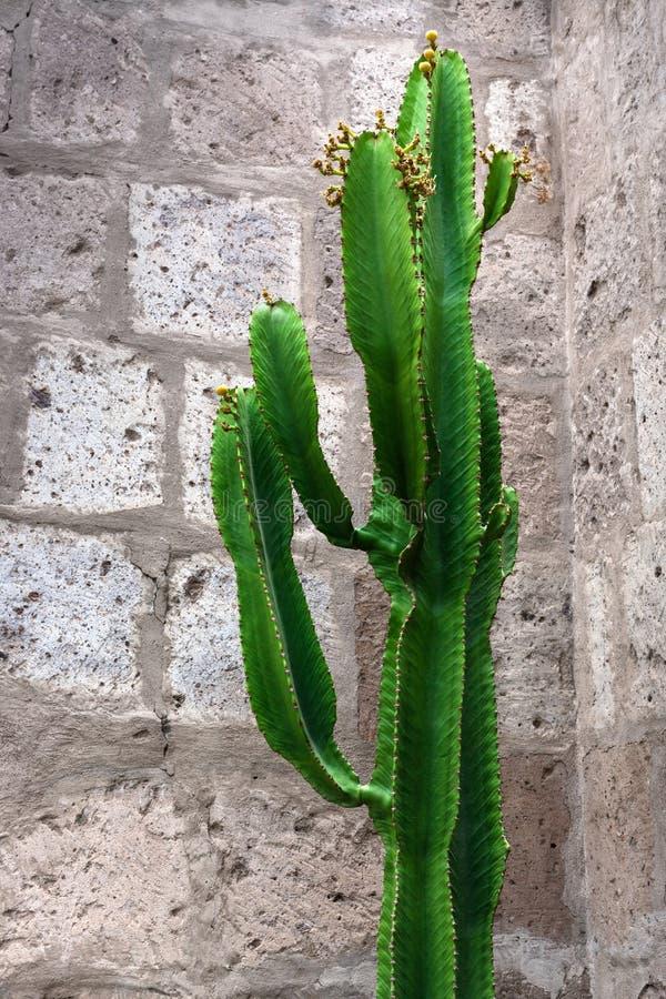 kaktus na tle ściana z cegieł fotografia royalty free