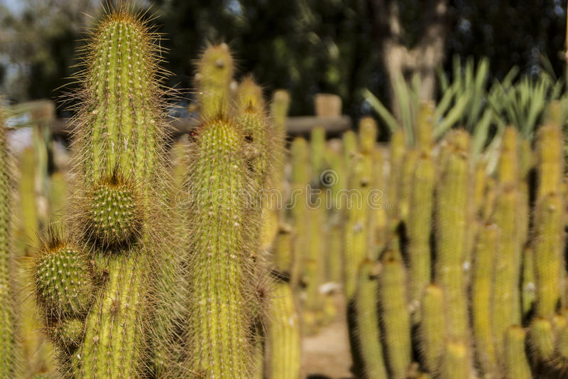 Kaktus Namibia royaltyfria bilder