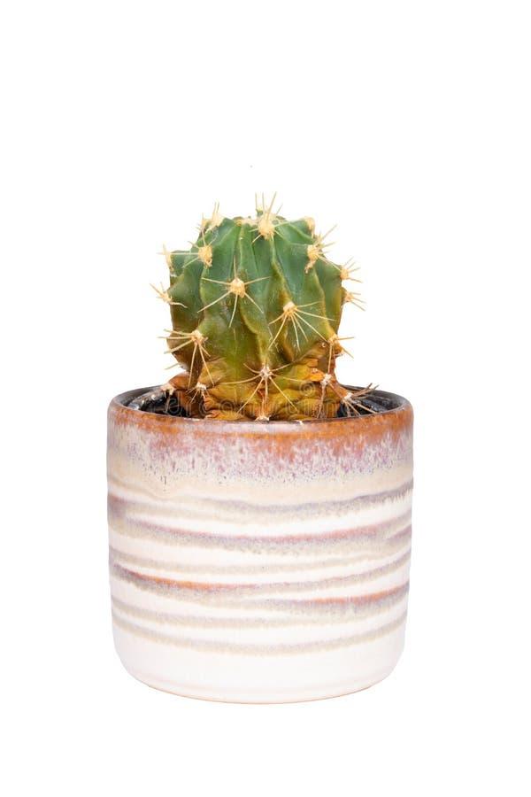 kaktus odizolowane W górę kaktusa w dekoracyjnym ceramicznym garnku Makro- sukulent odizolowywający na białym tle obrazy royalty free