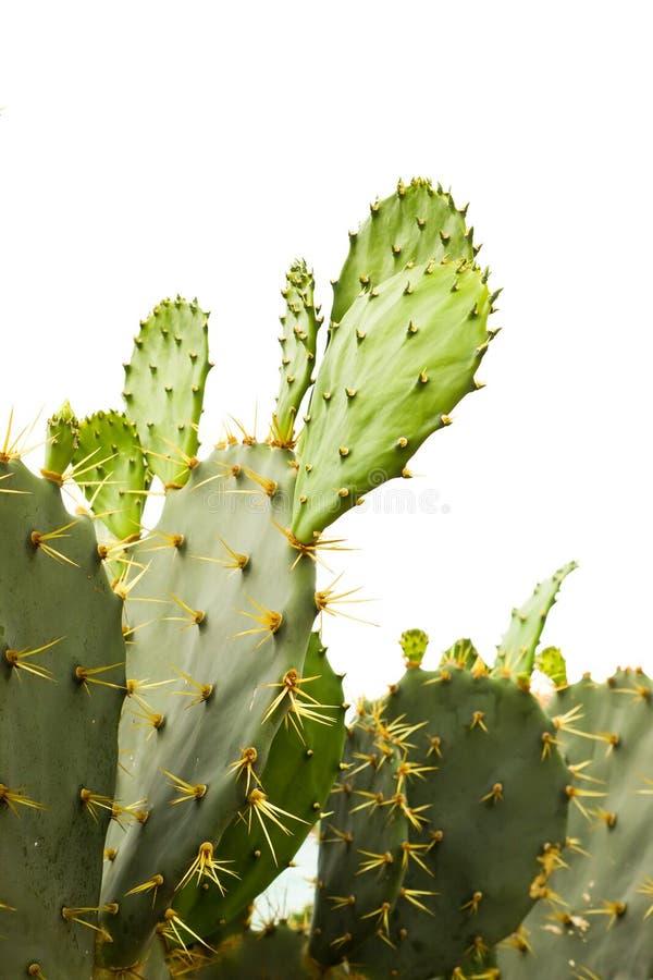 Kaktus odizolowywający obraz royalty free