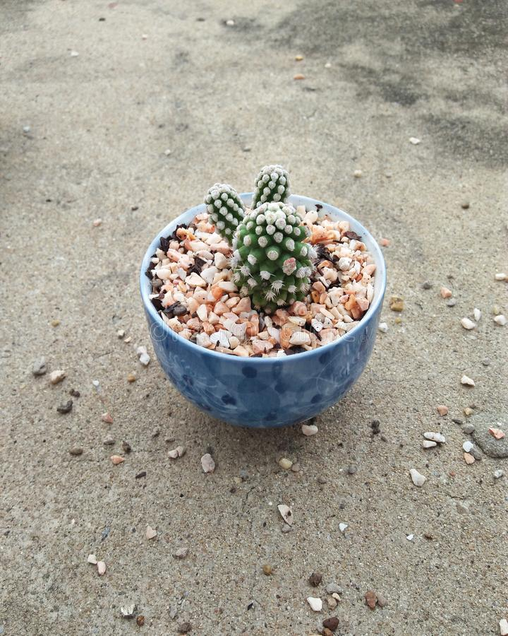 Kaktus Oruga im Schlag stockfoto