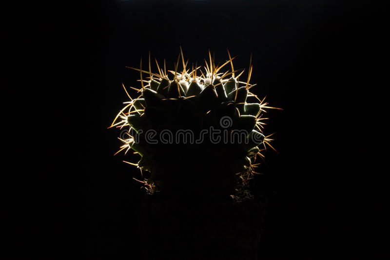 Kaktus på en mörk bakgrund arkivfoto