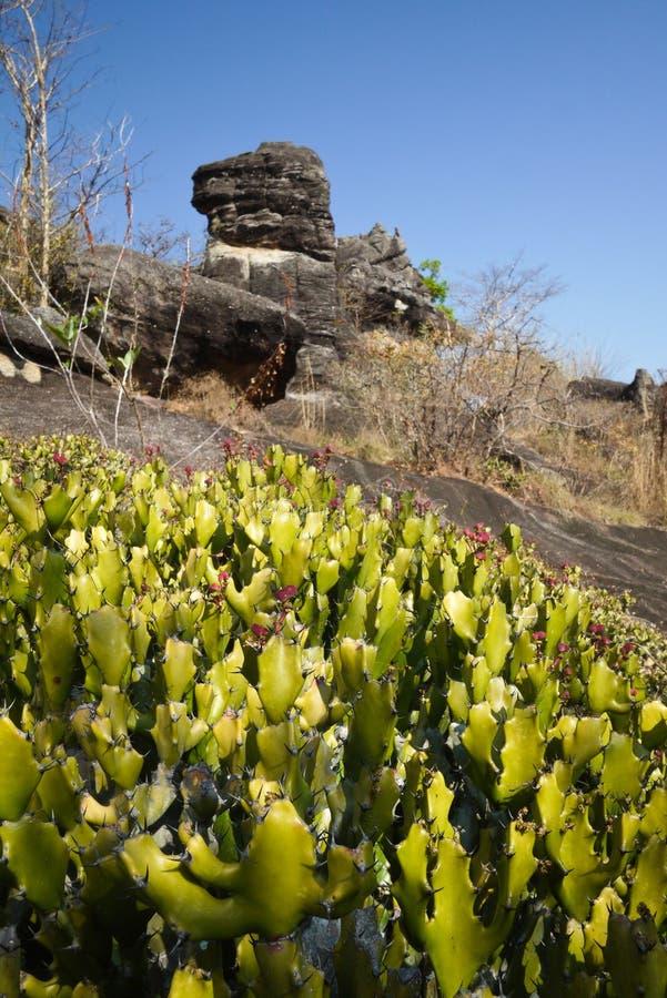 Kaktus in Phu-pha thoep Nationalpark, Mukdahan, Thailand stockfotografie