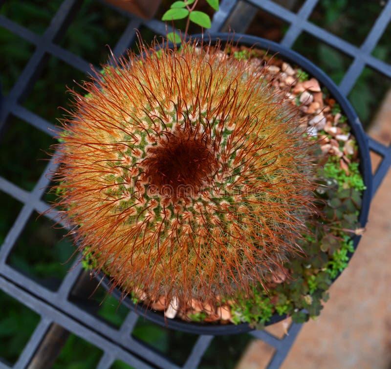 Kaktus piękny fotografia stock