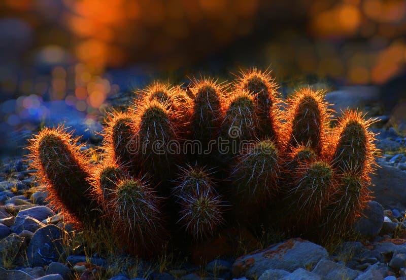 Kaktus przy zmierzchem z rozjarzonymi igłami zdjęcie royalty free
