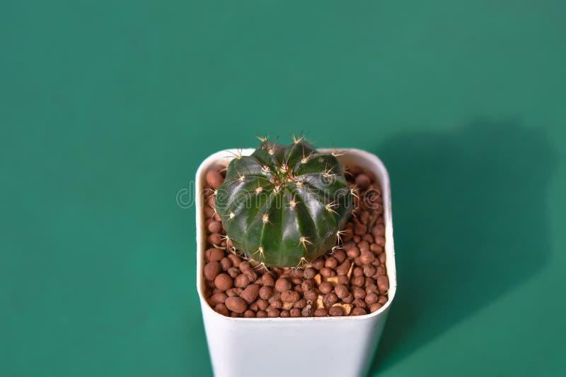 Kaktus R jako ornamentacyjne rośliny Piękne fotografia royalty free