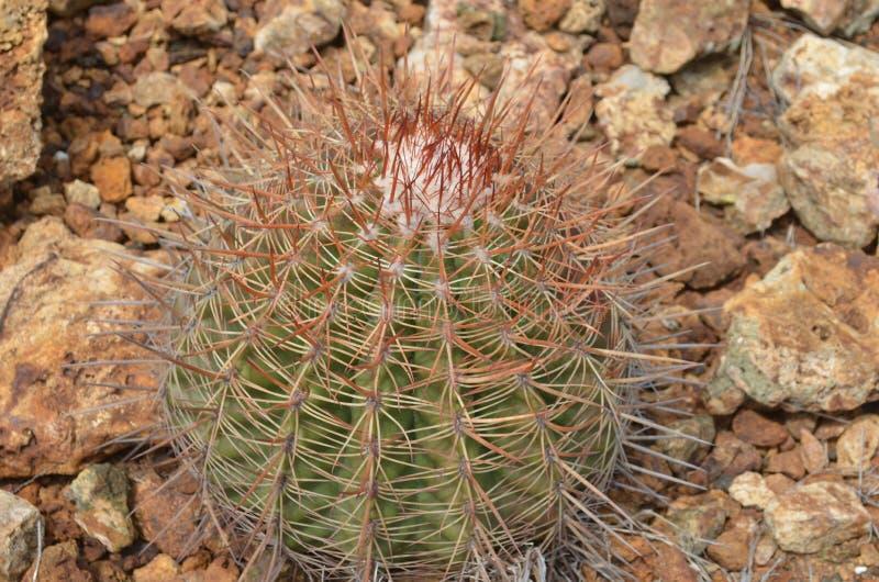 Kaktus R Z law skał w Aruba fotografia royalty free