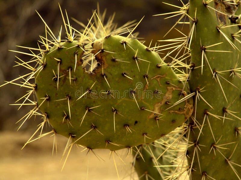 Kaktus rief Nopal an lizenzfreie stockfotos