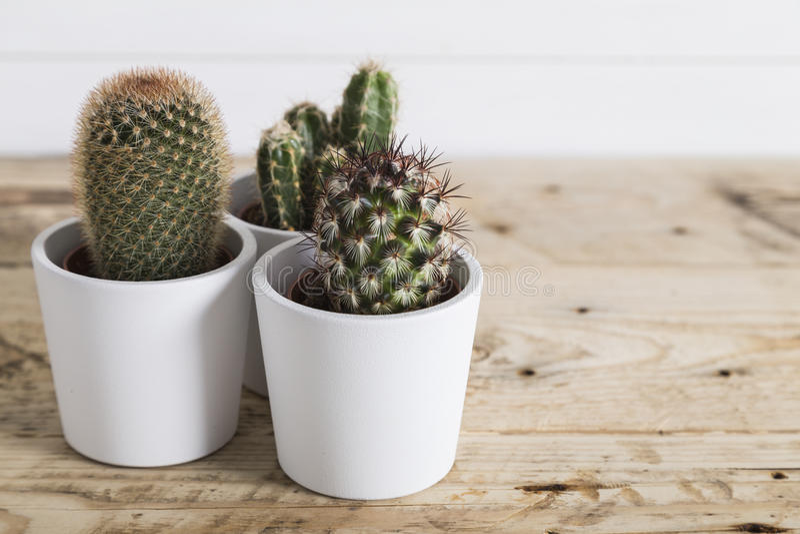 Kaktus rośliny w białych garnkach zdjęcie royalty free