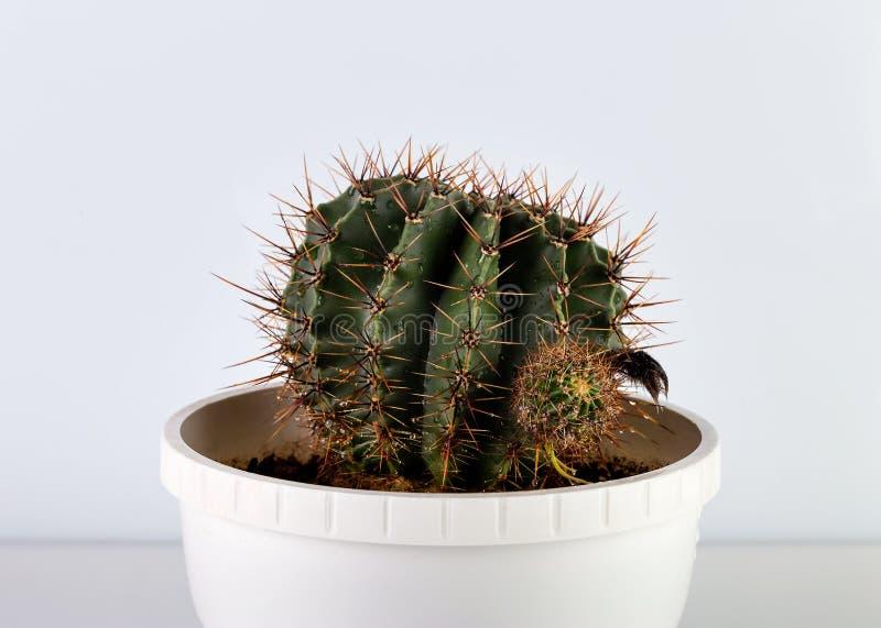Kaktus rund in einem Topf lizenzfreie stockfotos