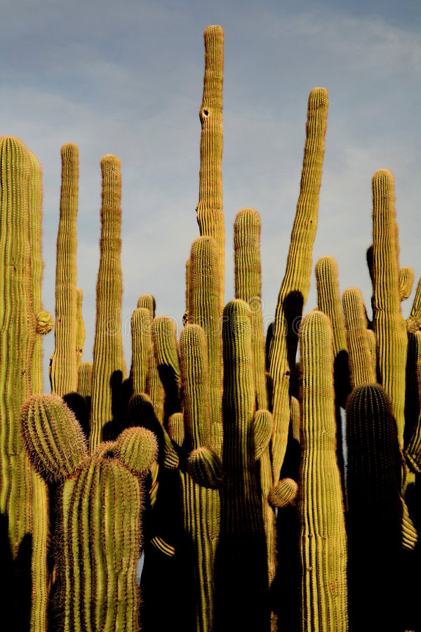 kaktus saguaro zgrupowania zdjęcie royalty free
