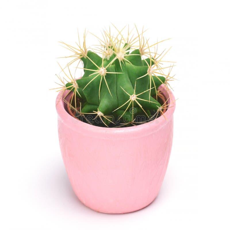 Kaktus som isoleras med den snabba banan Främre sikt för Closeupkakturs i rosa keramisk krukavitbakgrund Samling royaltyfri foto